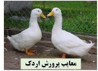 معایب پرورش اردک ✔️ درآمد پرورش اردک ✔️ سالن پرورش اردک ✔️ طرح توجیهی پرورش اردک گوشتی ✔️ ترکیبات غذای اردک