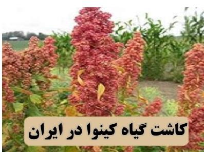 بذر گیاه کینوا ✔️ مضرات مصرف کینوا ✔️ هزینه کاشت کینوا ✔️ کاشت گیاه کینوا در ایران ✔️ مشکلات کاشت کینوا