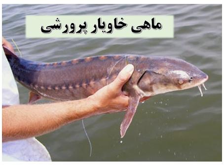 پرورش ماهی خاویار ✔️ تجهیزات پرورش ماهی خاویار ✔️ ماهی خاویار پرورشی ✔️ معایب پرورش ماهی خاویار ✔️ قیمت بچه ماهی خاویار