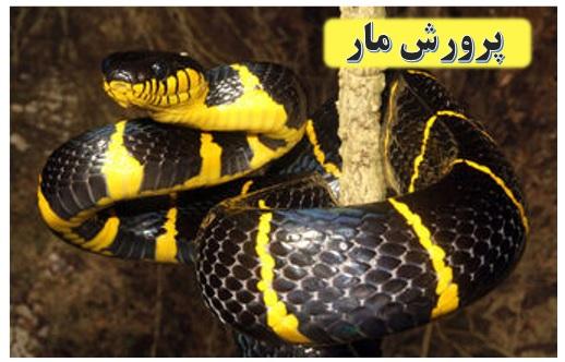 مجوز پرورش مار سمی ✔️ مشکلات پرورش مار ✔️ مزرعه پرورش مار در ایران ✔️ طرح توجیهی پرورش مار ✔️ پرورش مار در ایران