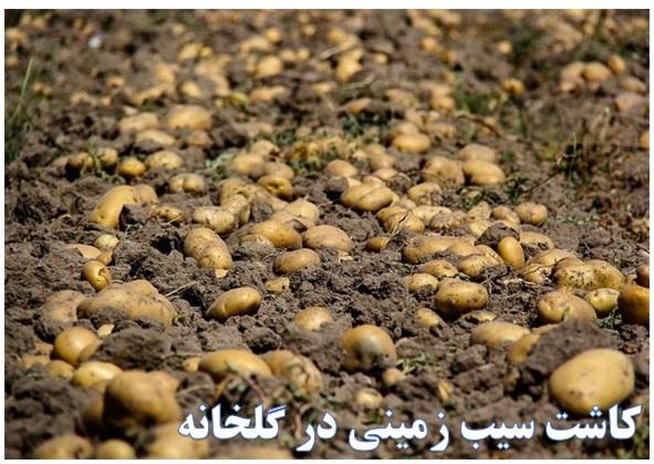 کاشت سیب زمینی ✔️ کاشت سیب زمینیدر یک هکتار ✔️ زمانکاشت سیب زمینیپاییزه ✔️ کاشت سیب زمینیدر پلاستیک ✔️ کاشت سیب زمینیدر گلخانه ✔️ کاشت سیب زمینیدر گونی ✔️ نحوهکاشت سیب زمینیدر زمین کشاورزی ✔️ کاشت و برداشت سیب زمینی